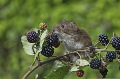 Eating some fresh berries Harvest Mouse, Pet Mice, Winter Photos, Rodents, Pretty Pictures, Funny Cute, Berries, Wildlife, Creatures