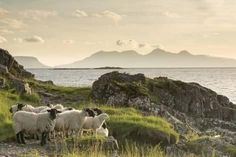 Sheep on the Beach at Camusdarach, Arisaig, Highlands, Scotland, United Kingdom, Europe Photographic Print by John Potter - AllPosters.ca