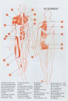 Izomzat és szervek kapcsolata Biology, Massage, Health Fitness, Workouts, Medicine, Work Outs, Excercise, Workout Exercises, Fitness