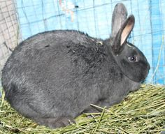 New Zealand Blue Doe New Zealand Rabbits, Raising Rabbits, Blue, Animals, Animales, Animaux, Animal, Animais