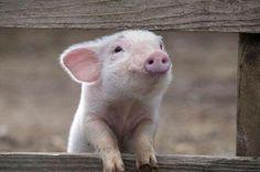 cute piggy (fabulousanimals)