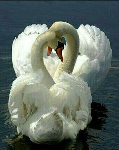 22 Pictures of a Happy Valentines Veterinary Zoo - meowlogy Swan Love, Beautiful Swan, Beautiful Birds, Animals Beautiful, Cute Animals, Animal Photography, Nature Photography, Swan Animal, Cygnus Olor