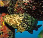 Grouper and other aquatic life greet divers.