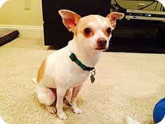 Memphis, TN - Chihuahua. Meet Riley a Dog for Adoption. Owner-surrendered to us. 3 years old. Weighs 10#. Visit her profile at Real Good Dog Rescue.