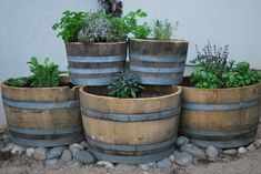 Herb garden in wine barrels