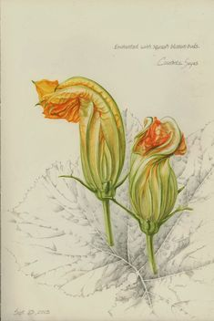 squash blossom buds by Constance Sayas, watercolor and graphite   Botanical Illustration