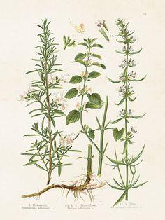 Zioła, mały plakat botaniczny HelenHouse