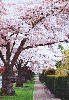 Cherry Blossom sidewalk
