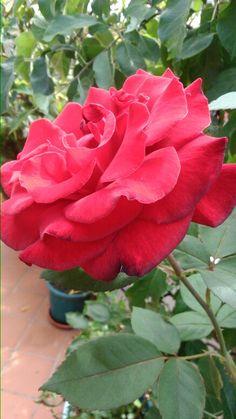 Rosa roja perfumada
