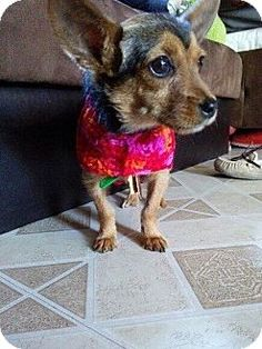 north hollywood, CA - Yorkie, Yorkshire Terrier/Chihuahua Mix. Meet Boo, a puppy for adoption. http://www.adoptapet.com/pet/12858768-north-hollywood-california-yorkie-yorkshire-terrier-mix