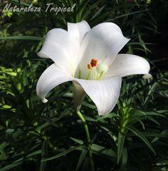 Flor típica del Lirio de Pascua, Lilium longiflorum