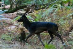 Black (melanistic) fallow buck