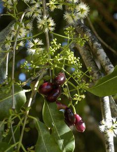 Este fruto é bem adocicado e se desenvolve bem em climas quentes e úmidos. #plantar #horta #jamelão #jambo #jambolão