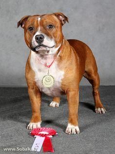 Staffordshire bull terrier Terrier Breeds, Terrier Dogs, Dog Breeds, Bull Terriers, Cool Pets, Awesome Dogs, American Staffordshire Bull Terrier, Staff Bull Terrier, Bully Dog