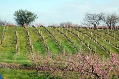 https://flic.kr/p/bZngp | Naoussa Vineyards | Naoussa, Northern Greece.