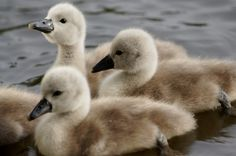 Baby swans...