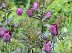 mørk hyld og purpur farvede tulipaner