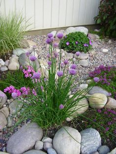 Chives in Front with Geranium 'Max Frei' in background - lovely organized mound that will bloom almost all summer. Also some pink Phlox in the rocks.