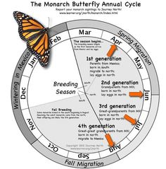 Butterfly Annual Cycle: month-by-month where are monarchs and what are they doing?Monarch Butterfly Annual Cycle: month-by-month where are monarchs and what are they doing? Butterfly Garden Plants, Butterfly Feeder, Butterfly House, Butterfly Cage, Garden Bugs, Butterfly Kisses, Monarch Butterfly Migration, Hummingbird Garden, Beautiful Butterflies