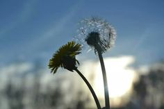 Sunflower with the sun
