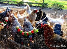 Fresh Eggs Daily®: Edible Christmas Garlands for your Chickens Chicken Coop Signs, Building A Chicken Coop, Chicken Coops, Chicken Coop Blueprints, Portable Chicken Coop, Chicken Treats, Organic Chicken, Raising Chickens, Keeping Chickens