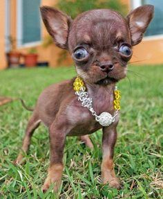 Chihuahua Milly is the world's smallest dog. She was born in lives in Puerto Rico, and she is just inches cm) high. - Animals - Check out: Chihuahua Milly is the World's Smallest Dog on Barnorama Small Puppies, Small Dogs, Cute Puppies, Cute Dogs, Dogs And Puppies, Tiny Dog, Doggies, Ugly Animals, Cute Baby Animals
