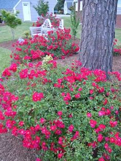 Flower Carpet roses grow under a tall pine tree where the soil is just awful.
