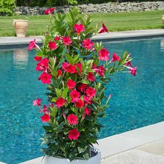 This twining vine smothers itself in bold raspberry-pink blossoms from late spring to frost. The richly saturated deep pink blooms are showcased against gleaming dark green leaves. Tropical Patio, Tropical Plants, Container Gardening Vegetables, Container Plants, Succulents Garden, Planting Flowers, Mandevilla Vine, Patio Plants, Potted Plants