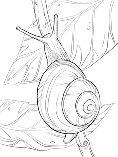 white-lipped-snail-coloring-pages. Animal Coloring Pages, Colouring Pages, Coloring Books, Free Coloring, Coloring Sheets, Line Drawing, Painting & Drawing, Snail Tattoo, Snail Art