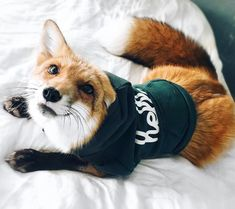 Juniper the fox is a domesticated fox, owned and loved by her family. http://www.wideopenpets.com/meet-juniper-pet-fox-want/