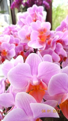 Pink Orchids in the gardens of Amsterdam