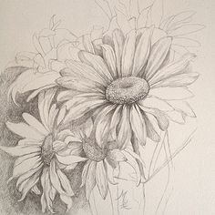 Daisies Sketched by Dave Mottram