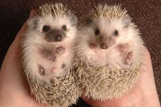Hedgehogs are adorable!