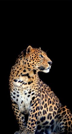 Most Beautiful Animals, Majestic Animals, Beautiful Cats, Beautiful Creatures, Wild Animal Wallpaper, Leopard Wallpaper, Jaguar Wallpaper, Leopard Tapete, Animal Jaguar
