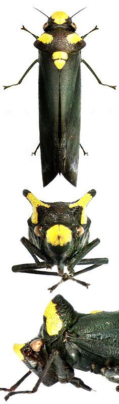 Zyzzogeton quadrimaculata