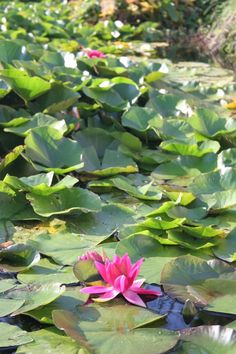 148 best water lilys images on pinterest lotus flower water monets water lillies mightylinksfo