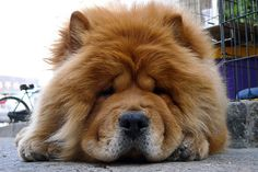Chow Chow Big Head by chaos™, via Flickr