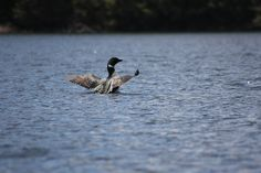 Lost Dog Loon on Lost Dog Lake in Algonquin Park by dancouver, via Flickr