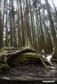 Photos taken March 28, 2014- Formosan cypress forest in the Ali Mountain in Chiayi County, southeast Taiwan. The Ali Mountain in central Taiwan is home to an abundance of Formosan cypresses (Chamaecyparis formosensis), which are an endemic species.