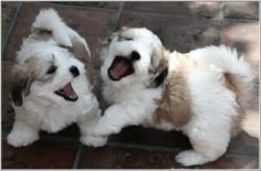 Puppies, Oliver & Lyra at 9 weeks old. Simply Grand Coton de Tulear, Phoenix, Arizona.