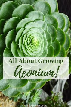 Aeonium are rosette-forming succulents that are easy to grow. Learn all about how to care for these rewarding plants! They come in a rainbow of colors and are gorgeous in containers and arrangements. Pin now, read later and you can grow aeonium!  #succulents #succulentcare #succulentrosettes #aeonium #aeoniumcare House Plants, Garden Spaces, Air Purifying House Plants, Plants, Garden, Succulents Diy, Succulents, Growing, Indoor Plants