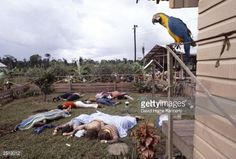 A parrot, one of the only survivors of Jonestown, looks down at dead bodies at the compound of the People's Temple cult November 18, 1978 in Jonestown, Guyana after over 900 members of the cult, led by Reverend Jim Jones, died from drinking cyanide-laced Kool Aid; they were victims of the largest mass suicide in modern history.