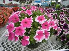 Petunia – Happy Bicolor Pink Picotee