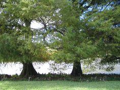 árvores gêmeas - Pesquisa Google