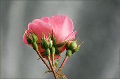 Rose mit Knospen - Jahreszeiten - Galerie - Community