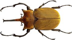 Common and unusual species of insects and spiders, their description, habitat, feeding habbits and conservation status. Beetle Drawing, Goliath Beetle, Rhino Beetle, Rhinoceros, Drawing Reference, Habitats, Bugs, Elephant, Creatures