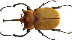Elephant Beetle Megasoma elephas