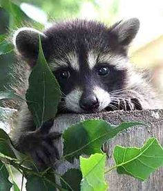 Baby raccoon.