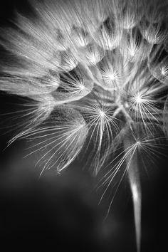 close up of dandelion make a wish, black white photography,  Revisitée en noir et blanc by Bastien HAJDUK, via 500px