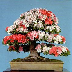Google Image Result for http://bonsaibark.com/wp-content/uploads/65azaleaflower.jpg